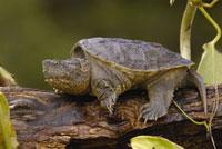 Ecuadorian Snapping Turtle