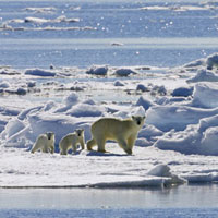 Polar Bear (Ursus maritimus) mother with cubs on ice floe,S