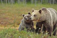 Brown Bear (Ursus arctos) mother with cub,Finland 01543019320| 写真素材・ストックフォト・画像・イラスト素材|アマナイメージズ