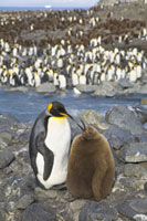 King Penguin (Aptenodytes patagonicus) parent and chick on r