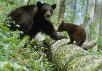 Black Bear (Ursus americanus) cub and adult standing on fall