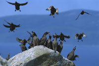 Crested Auklet (Aethia cristatella) group with some landing