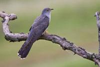 Common Cuckoo (Cuculus canorus),Hungary 01543019652| 写真素材・ストックフォト・画像・イラスト素材|アマナイメージズ