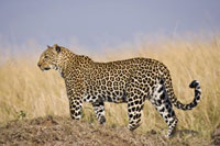 Leopard (Panthera pardus) female standing in long grass,Mas