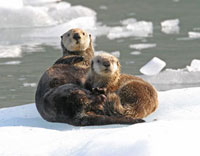 Sea Otter (Enhydra lutris) female with pup on ice floe,Prin
