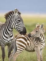 Burchell's Zebra (Equus burchellii) female grooming foal,L