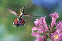Green-breasted Mango (Anthracothorax prevostii) hummingbird