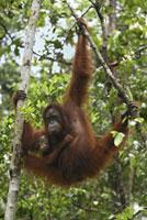 Orangutan (Pongo pygmaeus) female with baby,Camp Leaky,Tan