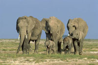African Elephant (Loxodonta africana) family group,Amboseli