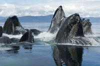 Humpback Whale (Megaptera novaeangliae) group bubble net fee