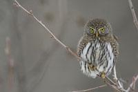 Northern Pygmy Owl (Glaucidium californicum)�Cwestern Montan