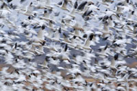 Snow Goose (Chen caerulescens) flock flying during migration