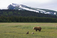 Grizzly Bear (Ursus arctos horribilis) female with cubs�CAla