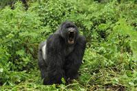 Mountain Gorilla (Gorilla gorilla beringei) silverback displ