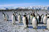 Emperor Penguin (Aptenodytes forsteri) colony、 Cape Crozier 01543020682| 写真素材・ストックフォト・画像・イラスト素材|アマナイメージズ