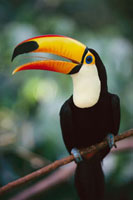 Toco Toucan (Ramphastos toco) bill is actually light and spo