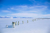 Emperor Penguin (Aptenodytes forsteri) group on ice edge、 a