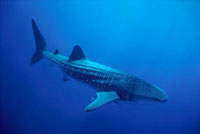 Whale Shark (Rhincodon typus) largest fish in the world to 6
