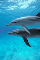 Atlantic Spotted Dolphin (Stenella frontalis) pair、 Little