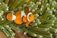 Clown Anemonefish (Amphiprion ocellaris) among stinging tent