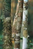 Gecko (Uroplatus sp) clinging to branch、 Madagascar 01543020794| 写真素材・ストックフォト・画像・イラスト素材|アマナイメージズ