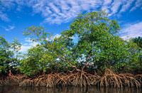 Red Mangrove (Rhizophora mangle)、 East Coast、 Brazil 01543020827  写真素材・ストックフォト・画像・イラスト素材 アマナイメージズ