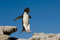 Rockhopper Penguin (Eudyptes chrysocome) jumping、 Pebble Is