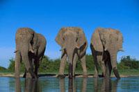 African Elephant (Loxodonta africana) trio drinking、 Chobe