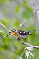 Blackburnian Warbler (Dendroica fusca) female in boreal fore