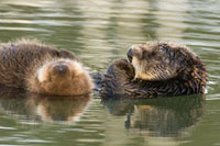 Sea Otter (Enhydra lutris) mother and pup sleeping、 Elkhorn