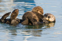 Sea Otter (Enhydra lutris) mother and pup、 Elkhorn Slough、
