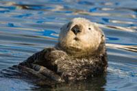 Sea Otter (Enhydra lutris)、 Elkhorn Slough、 Monterey Bay、