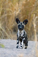 African Wild Dog (Lycaon pictus) six to eight week old pup�A
