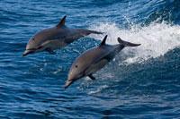 Common Dolphin (Delphinus delphis) pair jumping、 Baja Calif