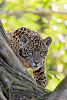 Jaguar (Panthera onca) one year old cub�A Cuiaba River�A Bra