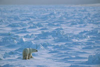 Polar Bear (Ursus maritimus) on ice field、 Wapusk National