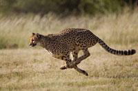 Cheetah (Acinonyx jubatus) running、 Cheetah Conservation Fu
