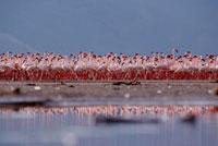 Lesser Flamingo (Phoenicopterus minor) flock parading in a m