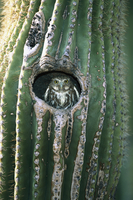 弁慶柱の巣から顔を出すアカスズメフクロウ