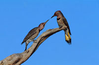 Northern Flicker (Colaptes auratus) male and female、 aggres