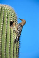 Gila Woodpecker (Melanerpes uropygialis) at nest entrance in