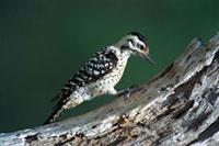 Ladder-backed Woodpecker (Picoides scalaris) on tree、 Texas