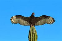 Turkey Vulture (Cathartes aura) perching on Cardon (Pachycer