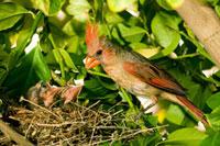 Northern Cardinal (Cardinalis cardinalis) mother feeding chi