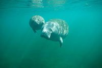 West Indian Manatee (Trichechus manatus) mother and young wi