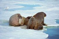 Atlantic Walrus (Odobenus rosmarus rosmarus) bachelor bulls
