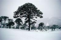 Monkey Puzzle Tree (Araucaria araucana) stand in winter snow