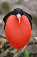 Great Frigatebird (Fregata minor) male with inflated gular p