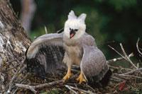 Harpy Eagle (Harpia harpyja) juvenile in nest taking a threa 01543022345| 写真素材・ストックフォト・画像・イラスト素材|アマナイメージズ