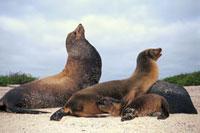 Galapagos Sea Lion (Zalophus wollebaeki) female and newborn